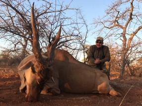 Eland Bull Large Plains Game Hunting South Africa