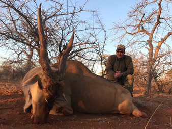 Eland Bull Large Plains Game Hunting South Africa