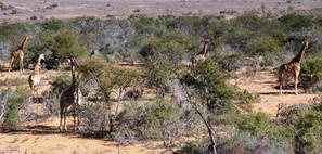 """A """"Tower"""" Of Giraffe At Royal Karoo Safaris"""