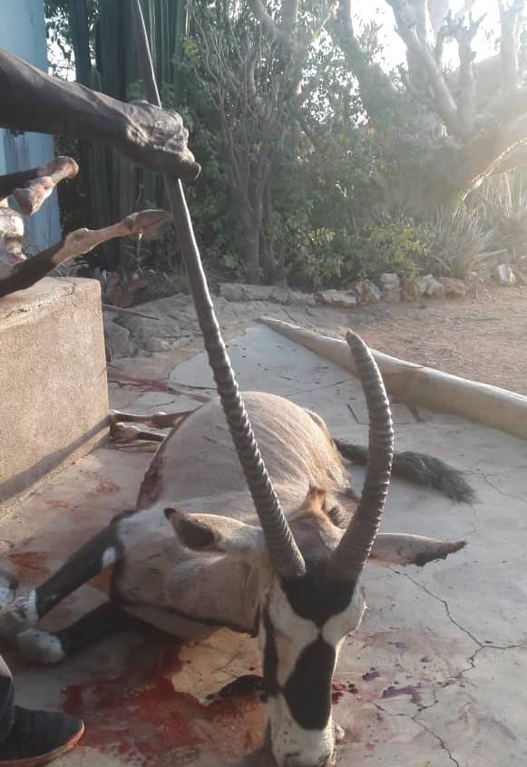 Free Range One Horn Oryx