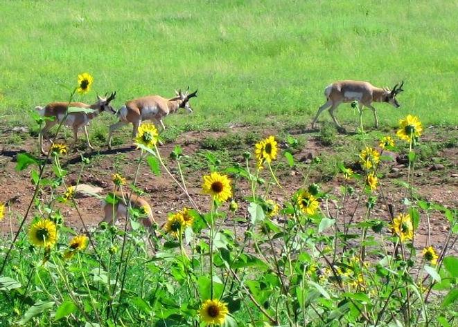 San Carlos Apache Tribe Antelope Hunting