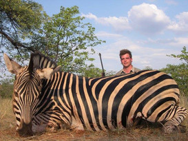Zebra Large Plains Game Hunt Safari Limpopo South Africa
