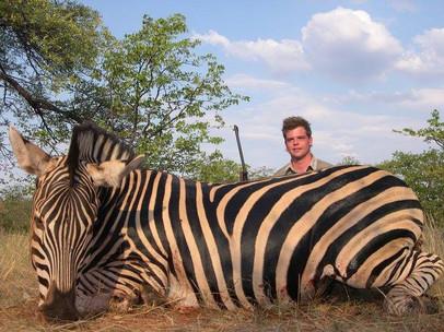 Zebra Large Plains Game Hunt Safari Limpopo South Africa