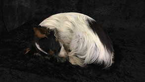 curled up pose on small dog by pet preservation Queensland Australia