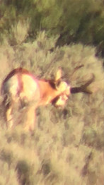 Trophy Antelope Buck in New Mexico www.huntingnewmexico.com