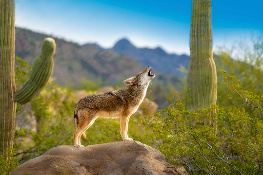Howling Coyote standing on Rock with Sag