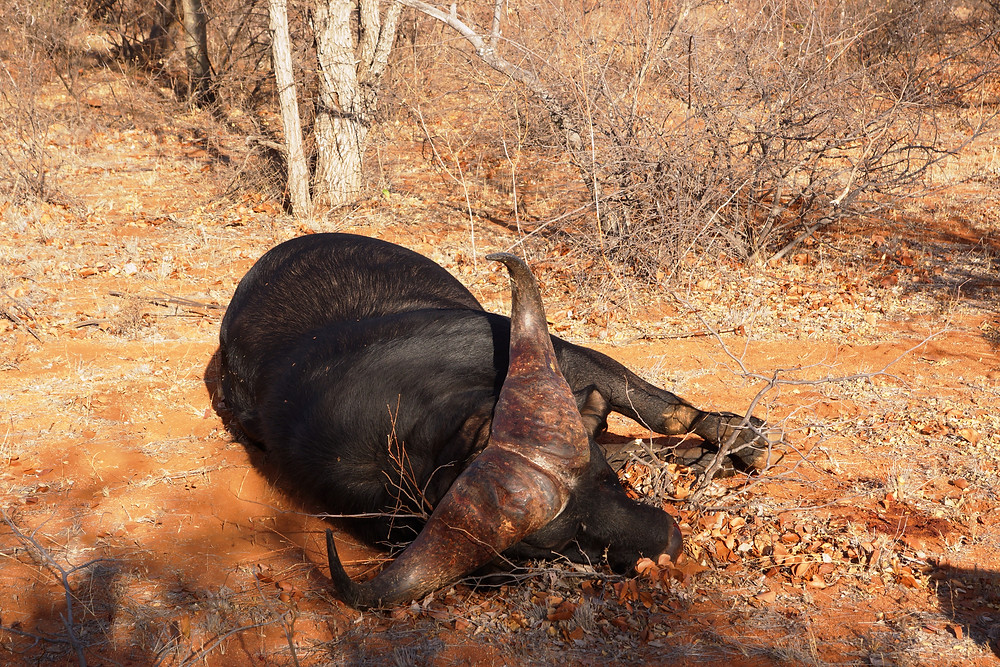 Dangerous Game Hunting Limpopo South Africa