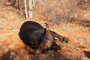 Hard Boss Buffalo's Of Limpopo