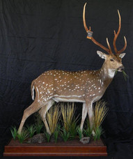 Chital Axis Stag Full Body Mount By Downunder Taxidermy Australia