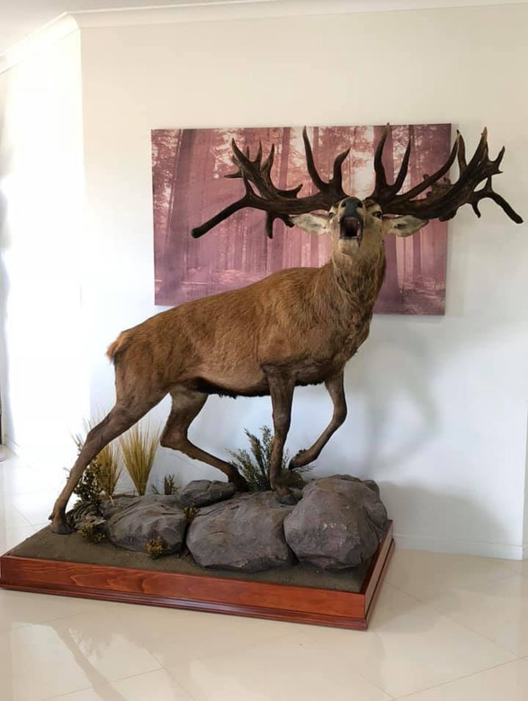 Red Stag Roar Mount By Taxidermist Markus Michalowitz Qld Australia