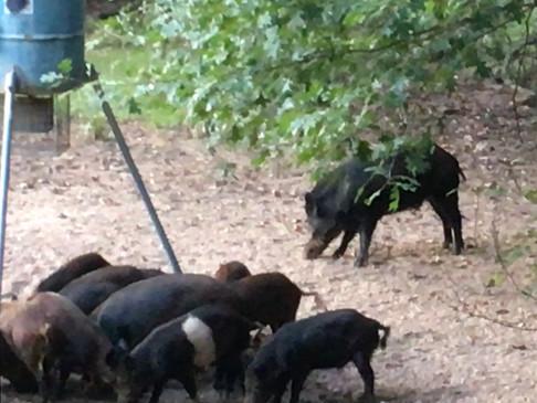 Hog Hunting Crossbow Style