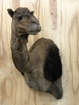 Camel Full Shoulder Wall Mount Downunder Taxidermy Studio Australia