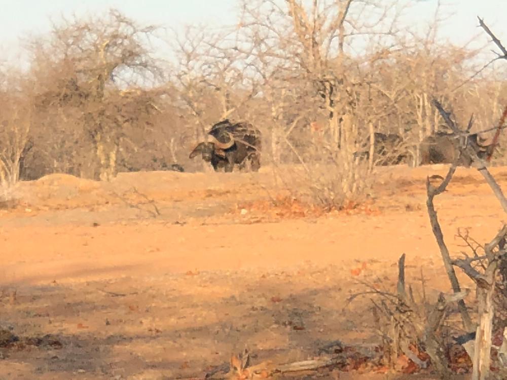Limpopo Dangerous Big Game Hunting - Cape Buffalo