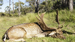 Fallow Buck Rut Hunt