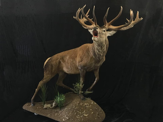 Roaring Red Stag Full Body Mount