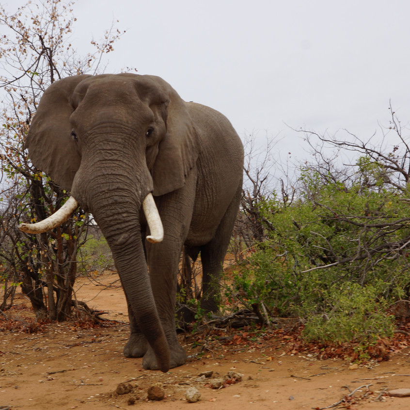 Elephants Kruger National Park South Africa Game Drive Ranchero Safaris Limpopo