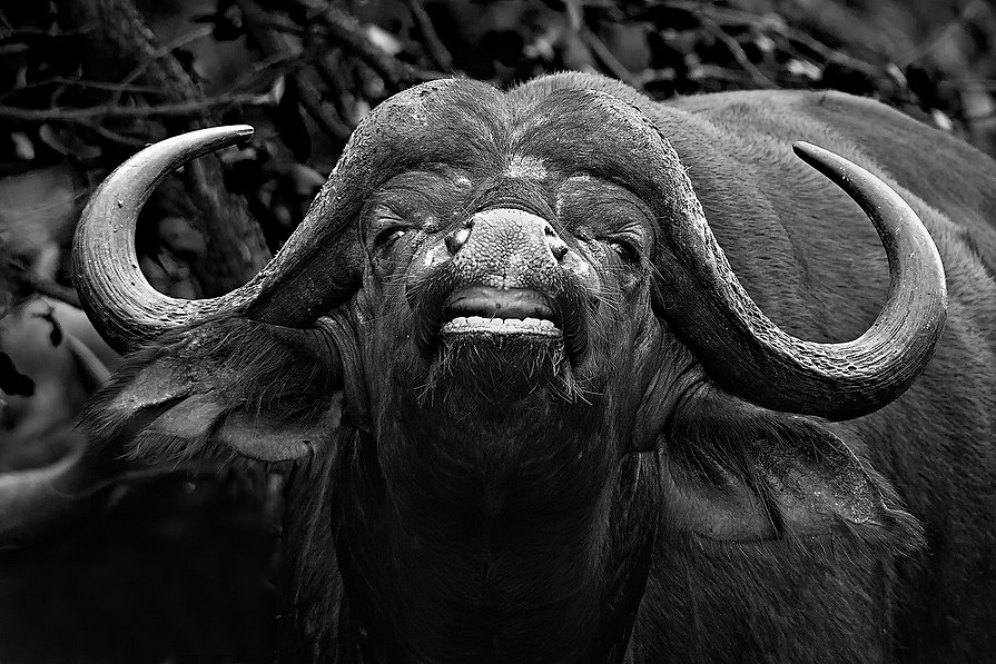 African Cape Water Buffalo.jpg