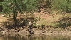 Mule Deer Doe coming for her mid day drink