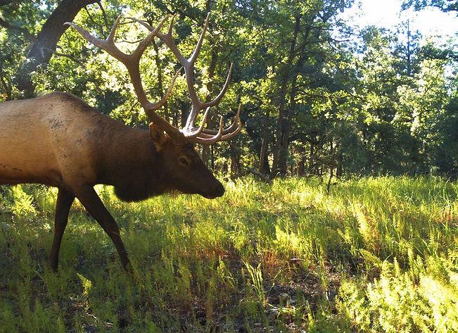 San Carlos Apache Tribe Rec & Wildlife Elk