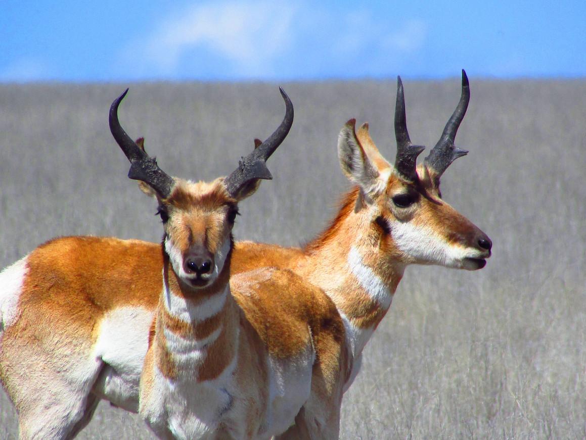 Antelope Draw Tag San Carlos Apache Tribe Recreation & Wildlifev