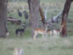 Meat Deer Hunts NSW Australia