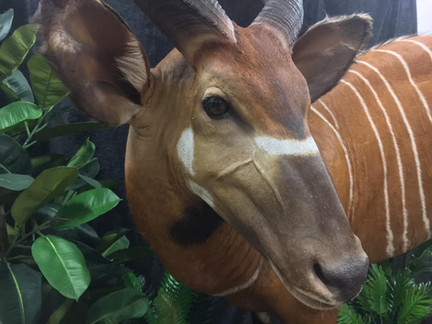 Taxidermy Attention To Detail By Downunder Taxidermy Studio Qld Australia