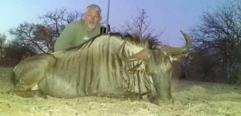 Blue Wildebeest Hunt In Limpopo