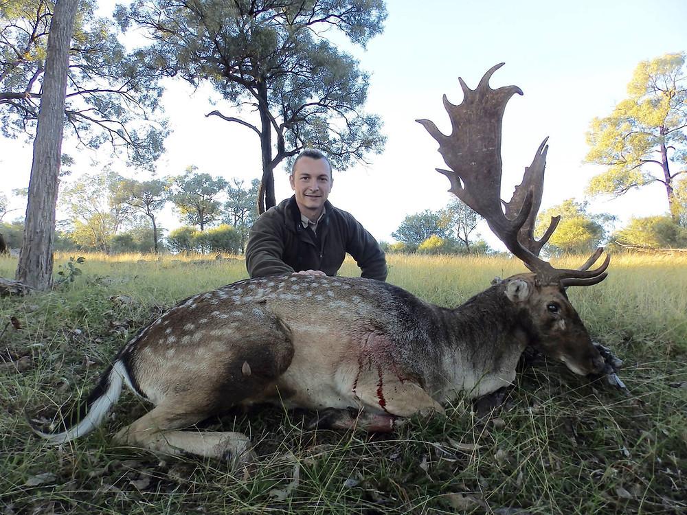 Fallow Deer Rut In NSW Australia