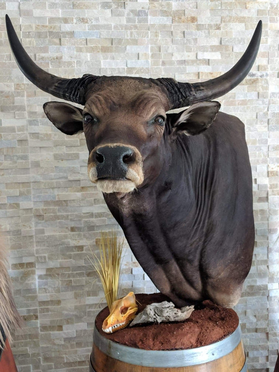 Banteng Bull Mount Downunder Taxidermy Studio Qld Australia
