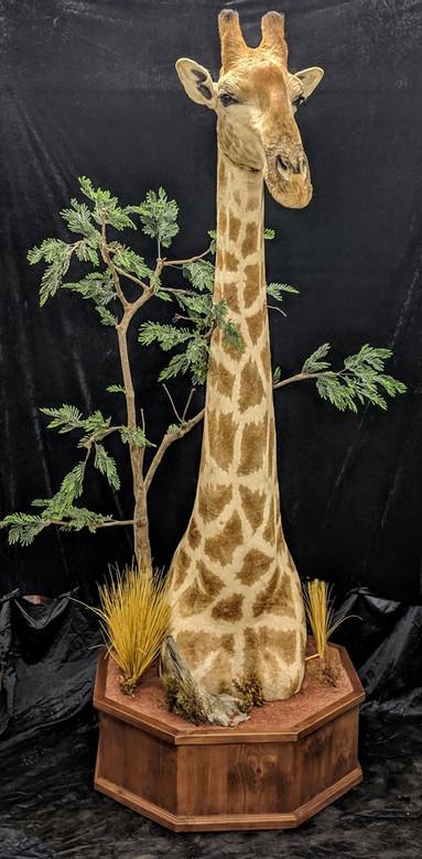 Giraffe Floor Mount By Downunder Taxidermy Studio Australia