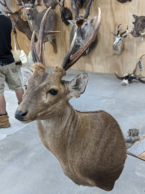 Hog Deer Mount Downunder Taxidermy Studio Qld Australia