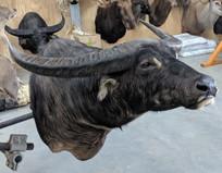 Australian Water Buffalo Full Shoulder Mount