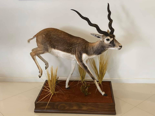 Blackbuck Full Body Mount In Motion