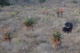 Cape Buffalo Dangerous Game Hunting On The Karoo
