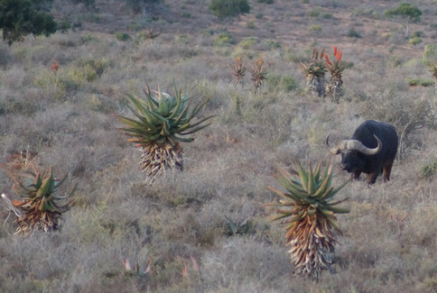 Cape Buffalo Dangerous Game Hunting On The Karoo