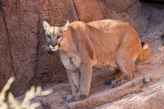 Mountain Lion USA..jpg