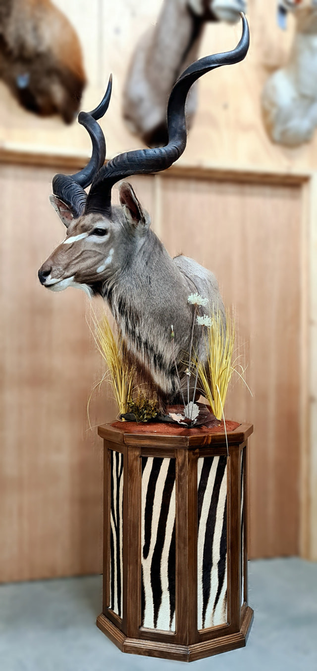 Kudu Pedestal Mount A Great Choice Downunder Taxidermy Studio Australia