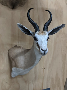 Springbok Shoulder Mount By Downunder Taxidermy Studio