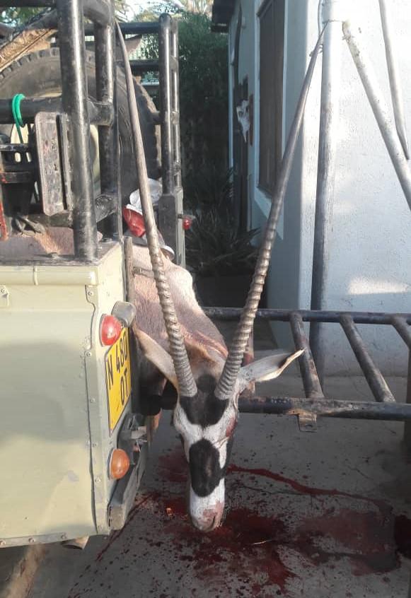 Oryx 38 1/2 inch Westfarlen Safaris