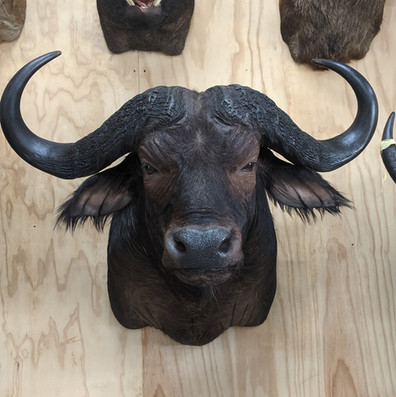 African Cape Buffalo Mount Front On Position