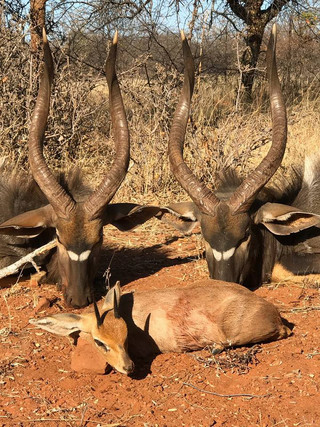 Nyala and Steenbuck Hunting With Ranchero Safaris Limpopo South Africa