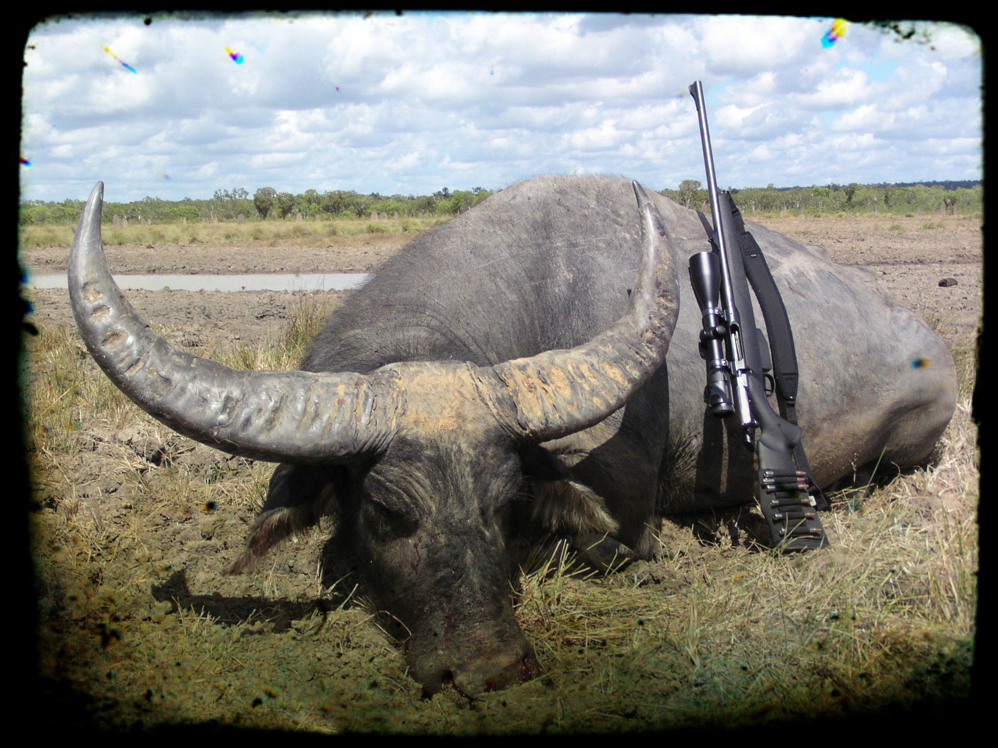 Water Buffalo Hunting Australia