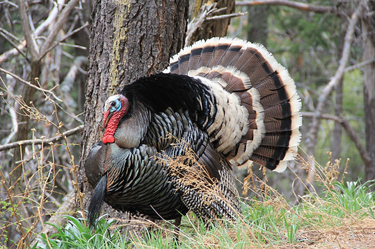 Wild male turkey gobbler in a natural Ar