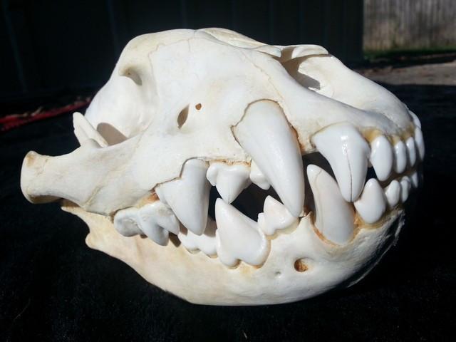 Young Hyena Skull