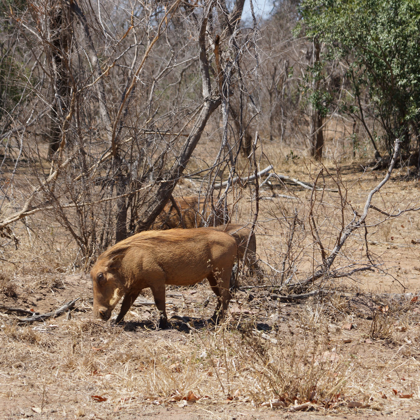 Wart Hogs In Kruger NP