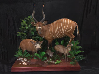 Life Size Full Mount By Downunder Taxidermy Studio Australia