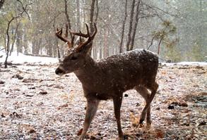 San Carlos Apache Tribe Recreation & Wildlife Coues Deer