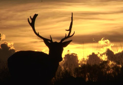 Fallow Buck Sunset