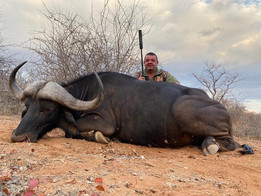 Cape Buffalo Hunting In Limpopo South Africa