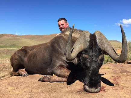 Black Wildebeest Royal Karoo Hunting Safaris Eastern Cape